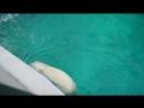 Белая медведица в Лимпопо