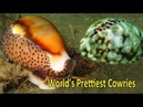 Top 5 World's Prettiest and Most Valuable Cowries
