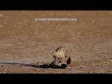 Prairie Falcon takes out a drake mallard