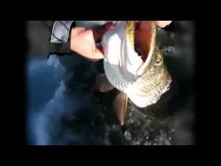 Прикольная зимняя рыбалка на крупную щуку