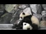 Маленькие Панды дерутся