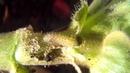 Larva de la mariposa taladro de los geranios (Cacyreus marshalli)