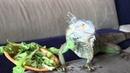 Игуана в домашних условиях - кивки