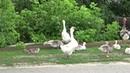 Гуси с гусятами гуляют Маленькие и большие гуси