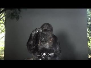 Умерла знаменитая говорящая горилла коко с человеческим iq - - rip