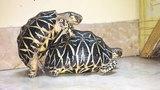 Indian Star Tortoise having the wild thing.