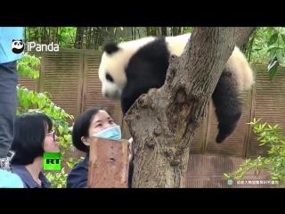 Противник селфи- детеныш панды резко прервал фотосессию туристки