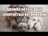 Дружба кота и двух золотистых ретриверов