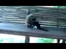 Кот против Обезьяны