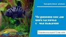 Пара Чернополосых Цихлазом защищает мальков в общем аквариуме
