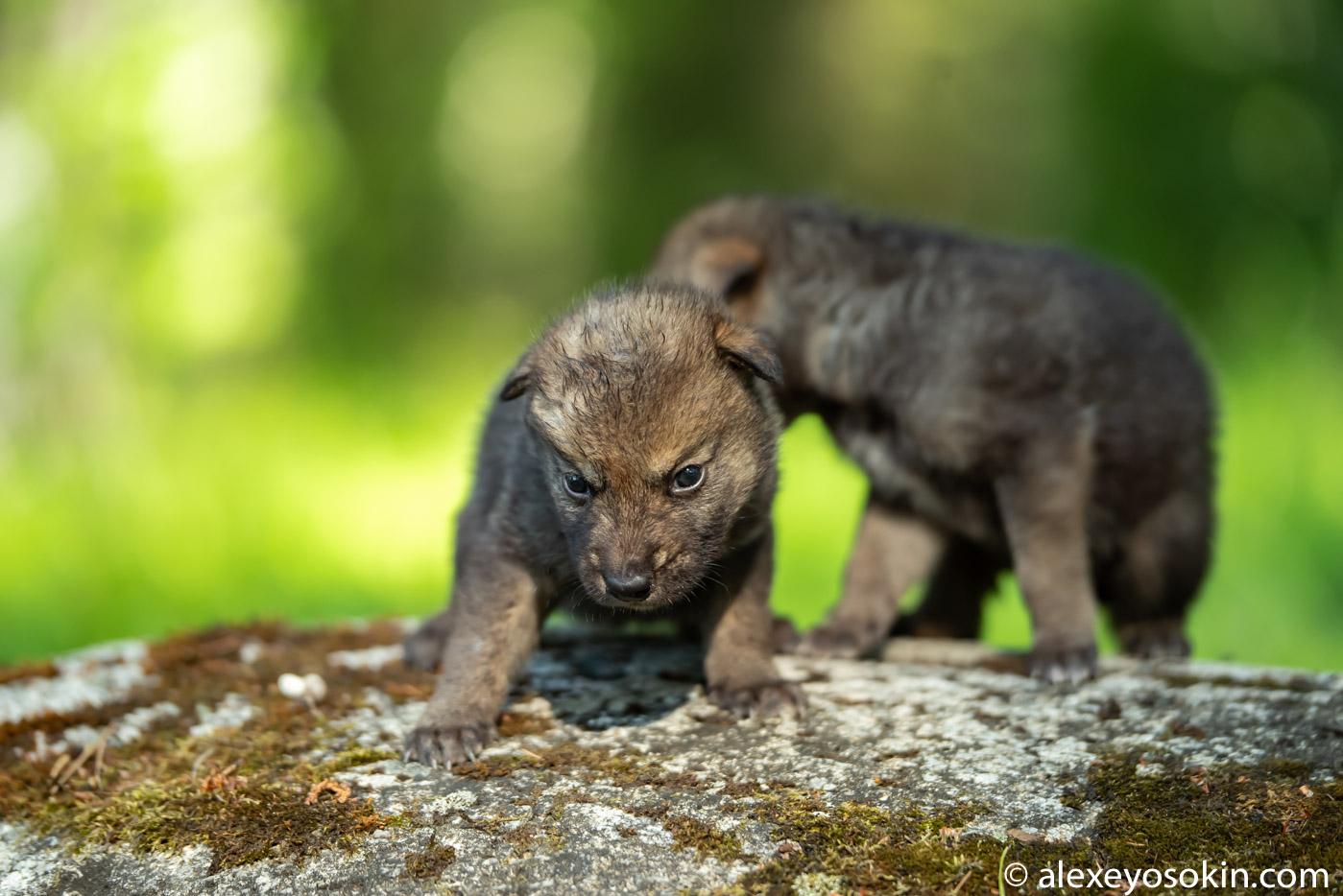 NWsGgAwawqs - Фото новорожденных волчат