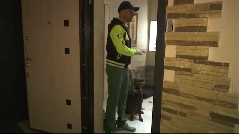 Как отучить собаку тянуть поводок Лабрадор