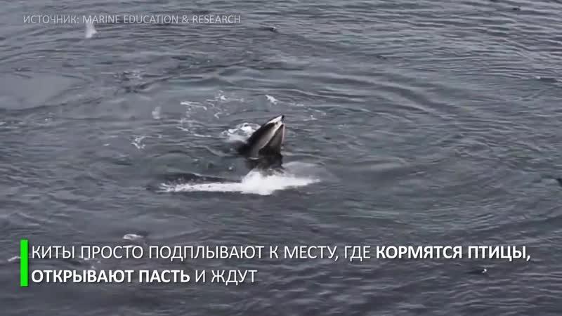 Охотничья хитрость_ горбатые киты заставляют рыбу заплывать им в пасть