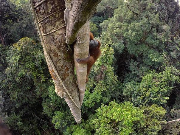 Орангутанг взобрался на высоту 30 м за фруктом, Индонезия. Фото года по версии National Geographic.
