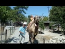 Детки оседлали верблюда Буба