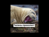Тюлень-приколист