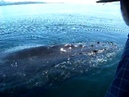 Humpback Whale Visits our Boat in SE Alaska