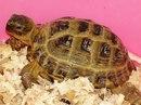 Черепашка среднеазиатсакая - домашняя рептилия.