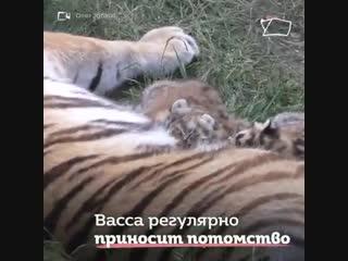 Тигрица Василиса принимает всех детенышей