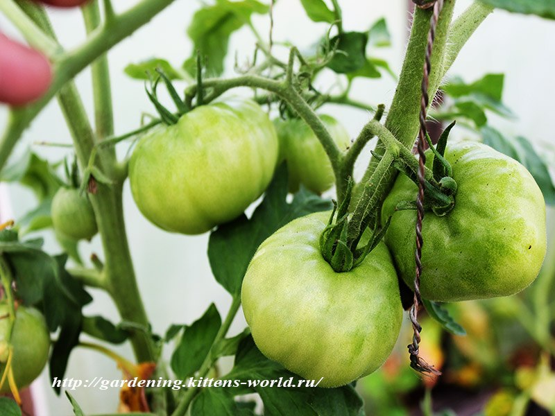 Основные правила формирования томатов - Особенности обрезки детерминантных кустов