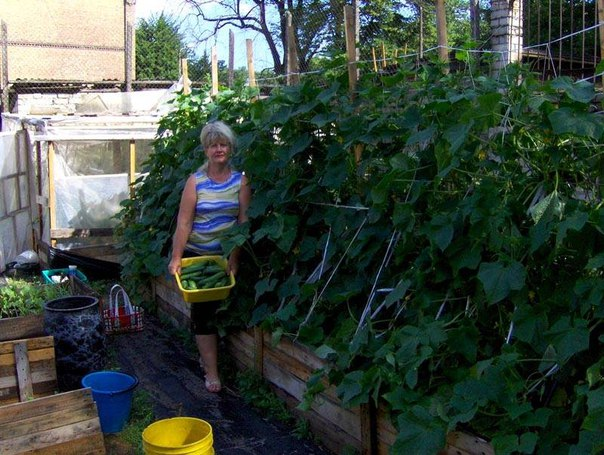Хочу поделиться своим опытом выращивания ранних огурцов. Процесс этот несложный, главное – соорудить для растений теплую грядку.