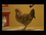 Танцующая курица - смотрите забавные видео ролики с животными на сайте Rutube