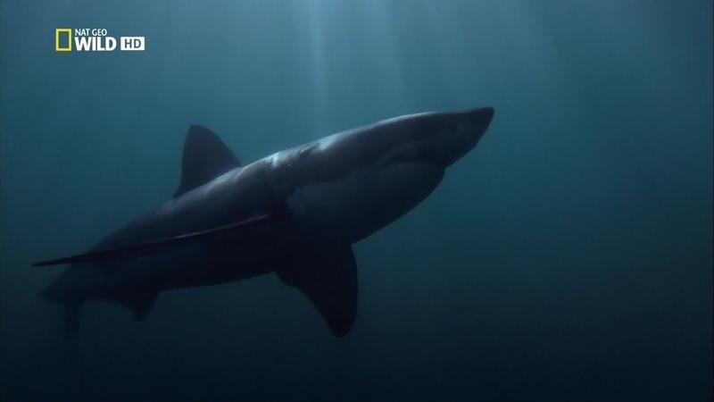 Nat Geo Wild Созданные убивать Большая белая акула 1080р
