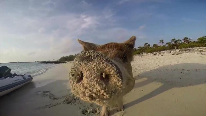 Колония свиней захватила один из необитаемых островов в Атлантическом океане...