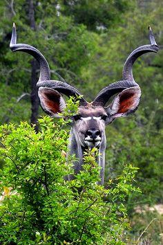 Антилопа куду