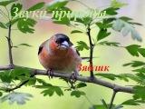 Голоса птиц для детей. Зяблик
