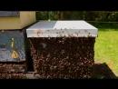 Как боряться с роением пчёл в Канаде