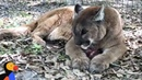 LIVE: Cougar Feeding: Big Cats Get An Icy Snack at Big Cat Rescue | The Dodo