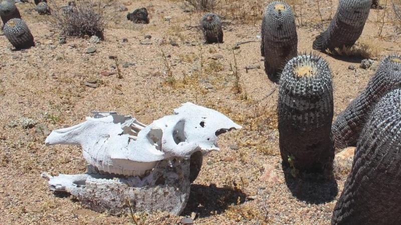 Cacti in Chile Кактусы в Чили Косогов К. Рехсан Д. Украина
