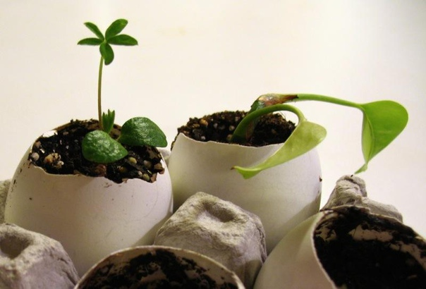 чем подкормить комнатные цветы. секрет роскошного комнатного цветника прост: растения нужно хорошо подкармливать, иначе не дождаться ни пышной листвы, ни хорошего цветения. жесткая диета,