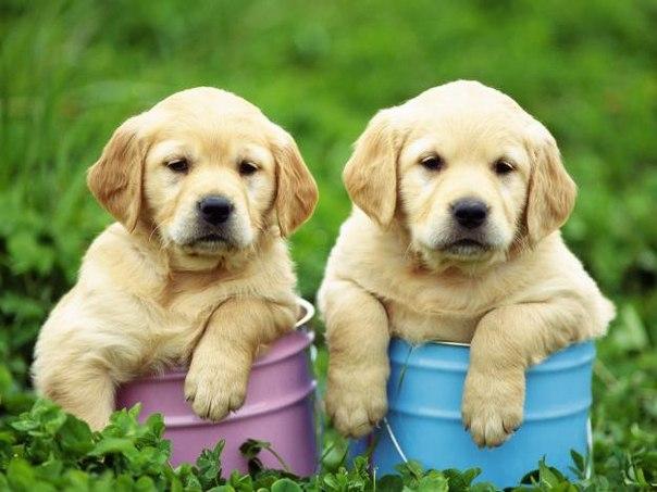 объявления о продаже щенков образец