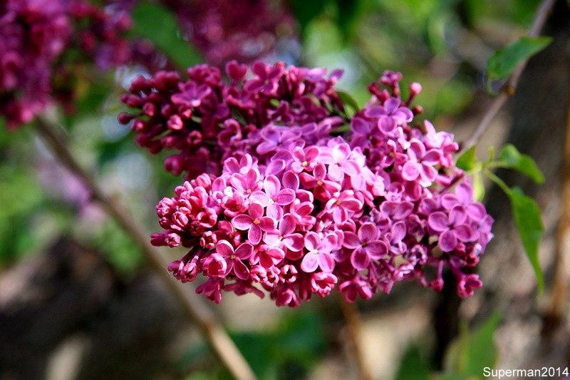 Сиреневый сад сирени, Сиреневый, можно, Сиреневом, Сейчас, гораздо, __________________________________________________________, сторону, любом, автобусе, дворах, сирень, Сиреневого, троллейбусе, Москве, практически, питомника, кустов, Площадь, сортов