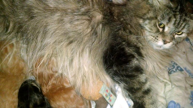 Новорожденные подсосные котята от очень крупной кошки Мейн кун