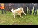 AST-NEWS Кобель представлял Астрахань на собачьих боях в Элисте