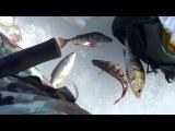Рыбалка на Ладоге 23 февраля 2015. Кобона. окунь