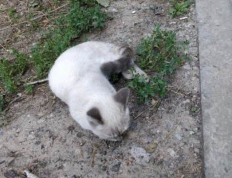 №11478 Найдена кошка ласковая на Аскарова во дворах. Ищем но