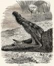 Вопреки распространенному убеждению, птицы не чистят зубы крокодилам.