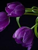 hd обои композиция, Тюльпаны, цветы, корзина 240 x 320 для рабочего стола бесплатно скачать.