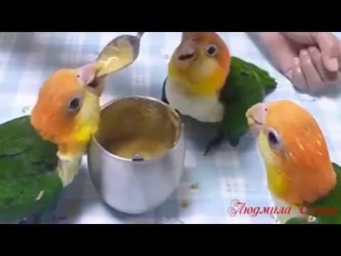 Попугаи танцуют прикольн
