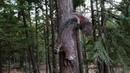 Прогулки по лесу с большой лесной кошкой