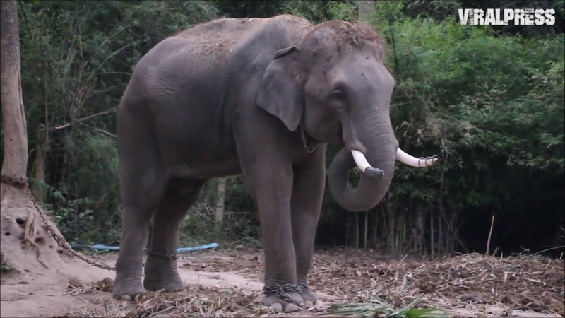 Chinese Tour Guide Trampled By Elephant