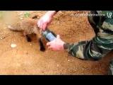 Лисенок подошёл к охотникам за помощью