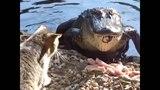 Крокодил--настоящее чудовище. Самый большой крокодил. Crocodile - ein echtes Monster.