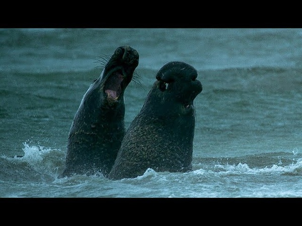Beachmaster Elephant Seal Fights off Rival Male | BBC Earth