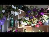 Ахименесы: цветение нашей коллекции в конце июля