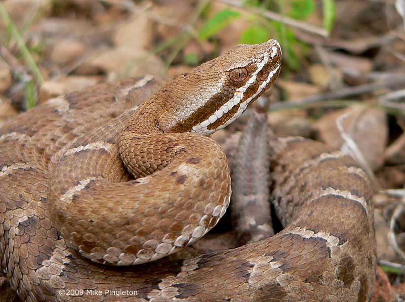 Гремучая змея